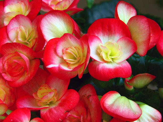 Бегония элатиор (Begonia x elatior)
