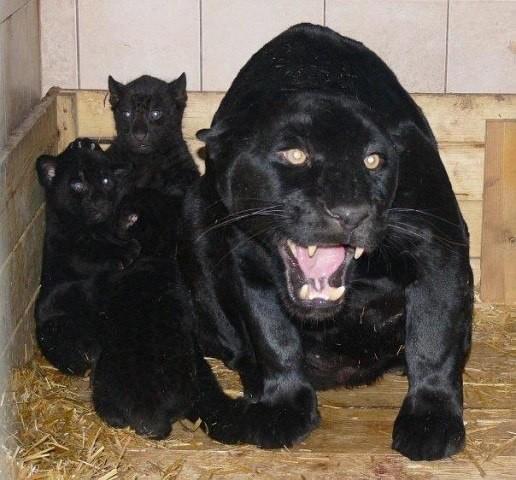 В мире больших кошек. Просто красиво!)