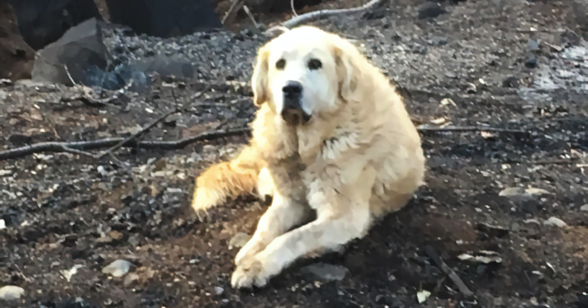 Meet Madison, The Dog Who Survived A California Wildfire And Guarded His Home For A Month