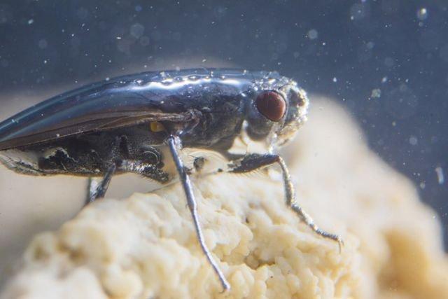 Как уникальные мухи-аквалангисты научились жить под водой