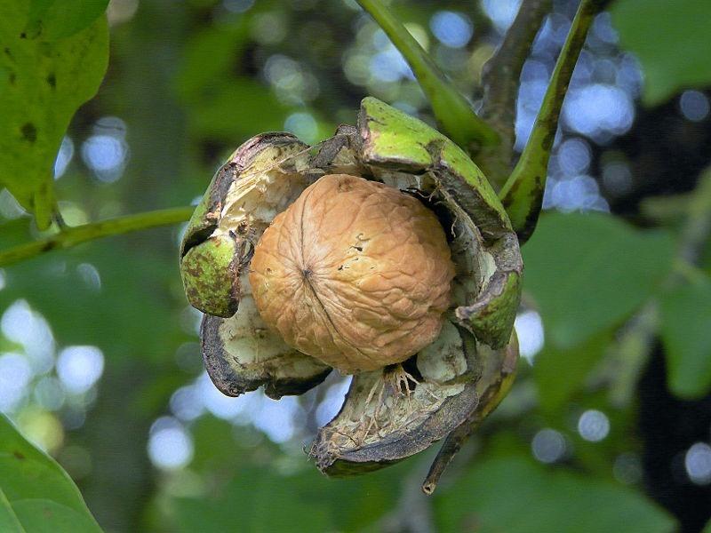 как растёт орех грецкий фото