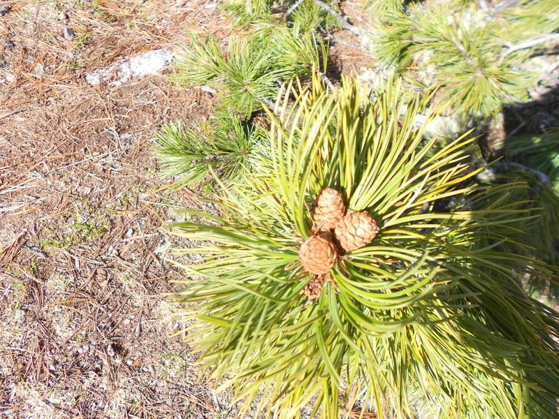 Молодые шишки кедра Ергаки, горы, лето, природа, снег, снег летом