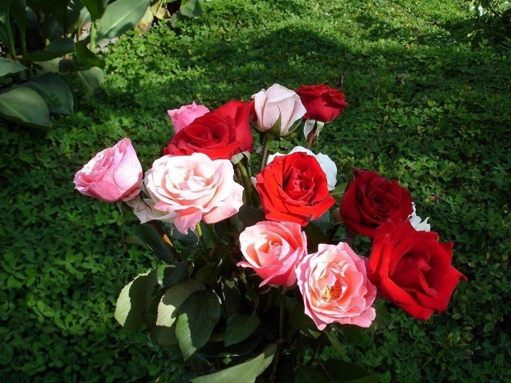 Супер средство для защиты роз от ржавчины, мучнистой росы и пятнистости