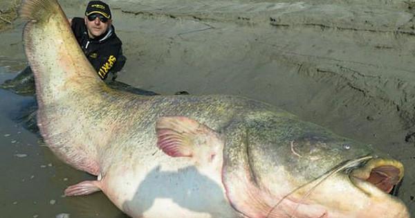 Неожиданная находка в 180-килограммовой зубатке