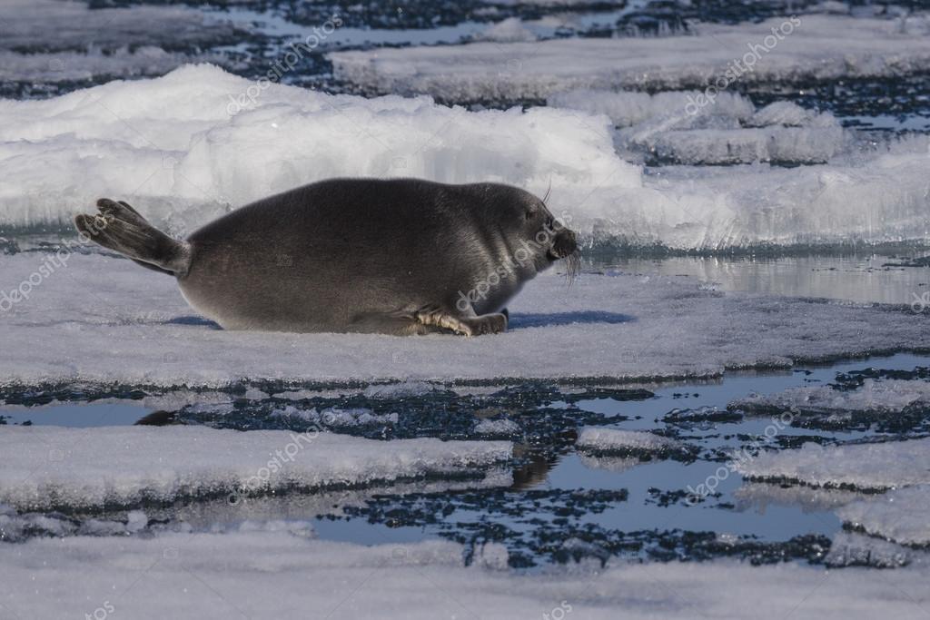 Спасение нерпы на льду