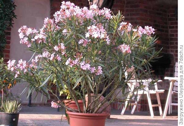 Олеандр обыкновенный в кадке, фото сайта potted-plants.ru