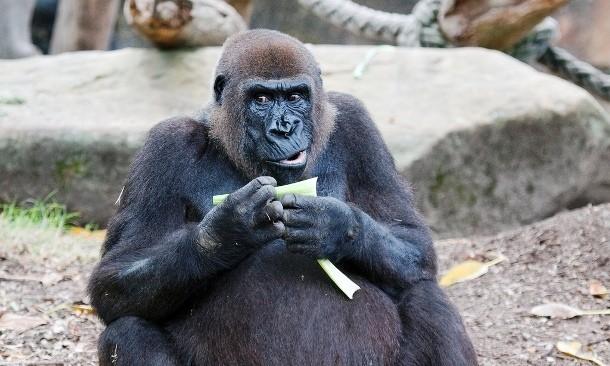 Горилла и ребенок В 1996 году трехлетний мальчик поскользнулся в зоопарке и упал с высоты шести метров — на территорию горилл. Самка Джуа быстро подхватила ребенка и героически защитила от нападок соплеменников. Более того, она даже отнесла его к служебному входу, где уже стояли наготове сотрудники службы безопасности.