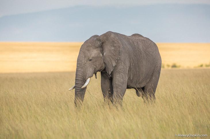 Длина хобота и другие любопытные факты о слонах