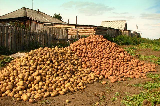 Несколько основных способов выращивания картофеля