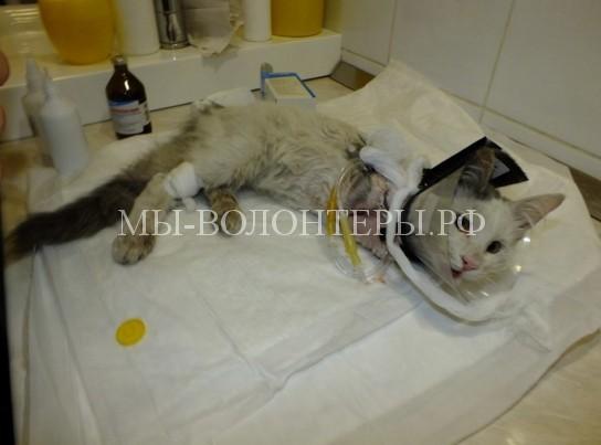 Возвращение Масяни: кота, попавшего под трамвай, вернули к жизни неравнодушные волгоградцы