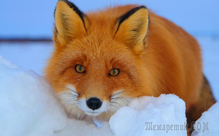 Лисица – о повадках, местах обитания этих хищников и несколько советов по охоте на них