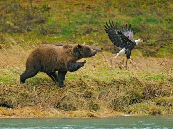 Медведь выходит на охоту