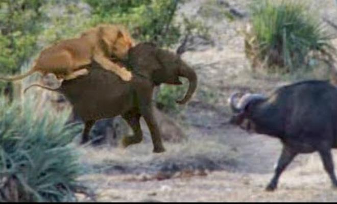 Беззащитный слоненок попал в лапы львам, но на помощь пришли буйволы
