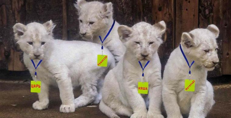 Царь, Няша, Режиссер и Матильда: белые львята родились в крымском сафари-парке