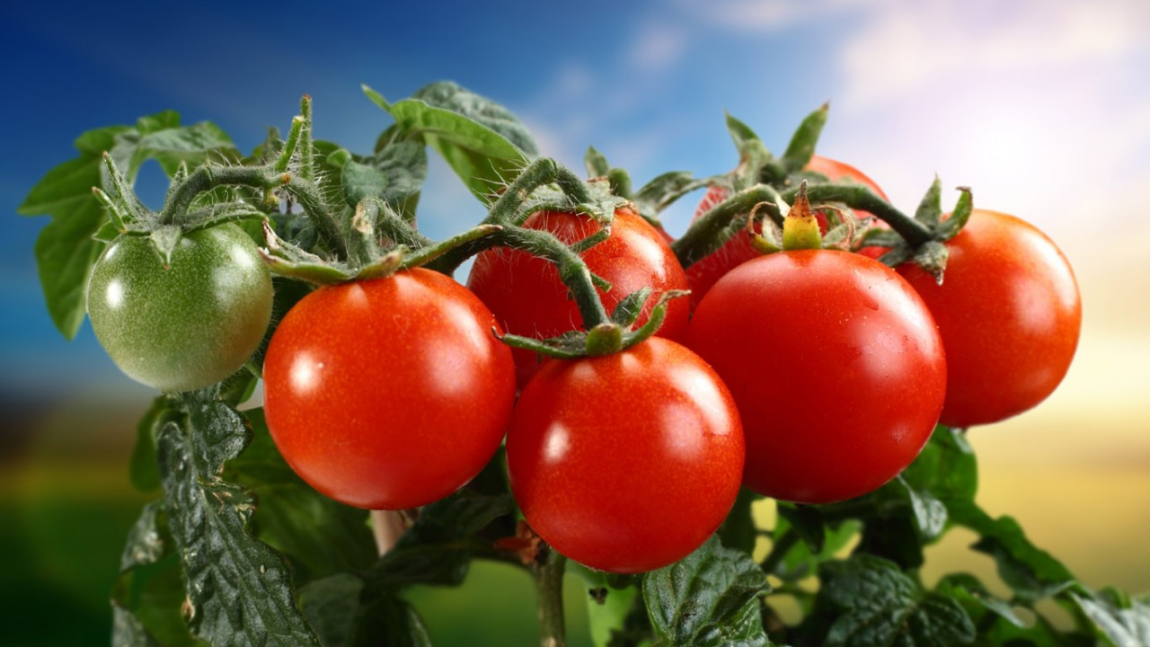 Кефир – защитник томатов от фитофторы