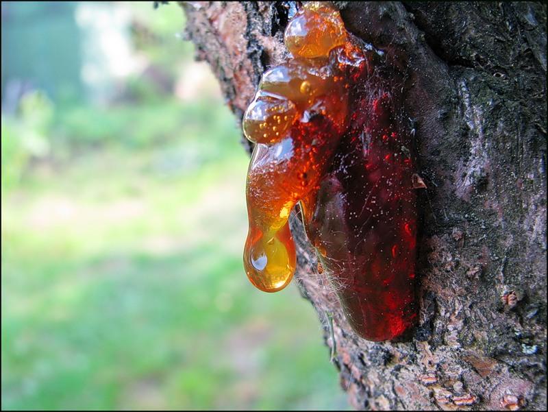 смола деревьев фото