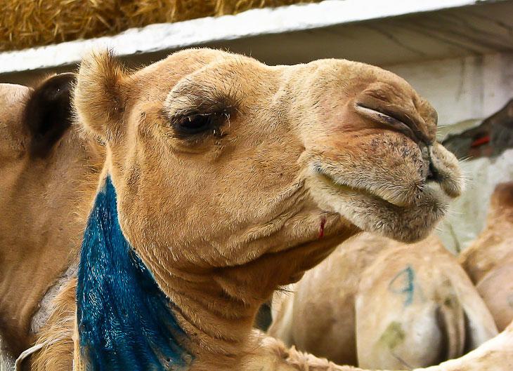 Грустная повесть о грустных глазах верблюжонка... :(