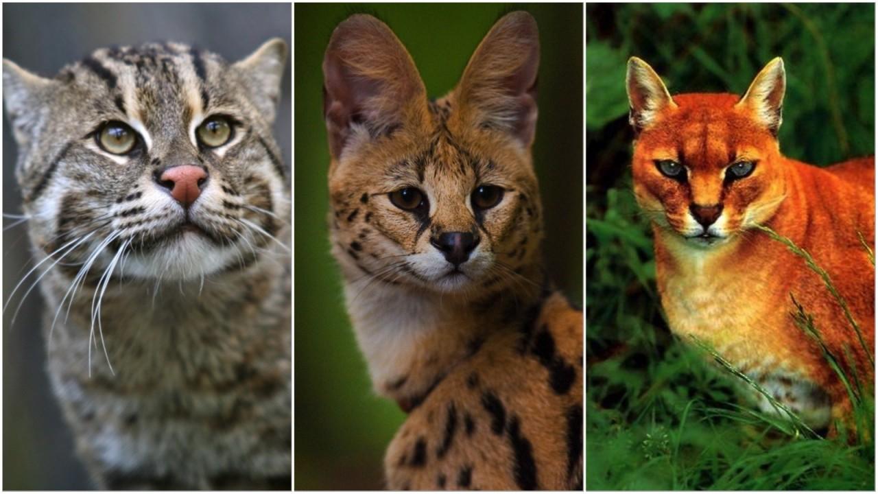 10 классных диких кошек, о к…