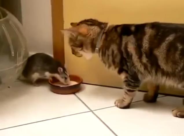 Дерзкая крыса