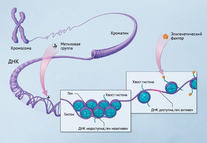 Как днк связано с геном