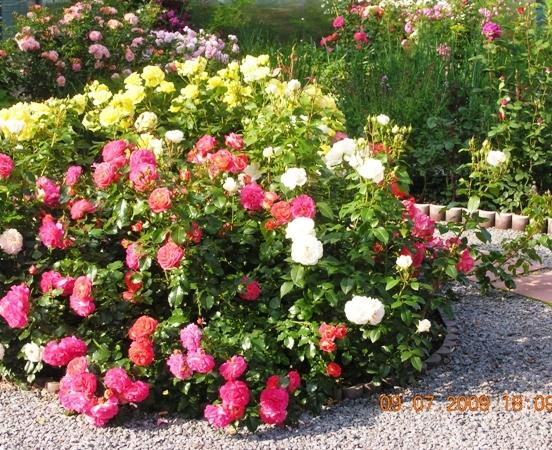 Многоцветные розы Gebruder Grimm могут заменить собой целый розарий