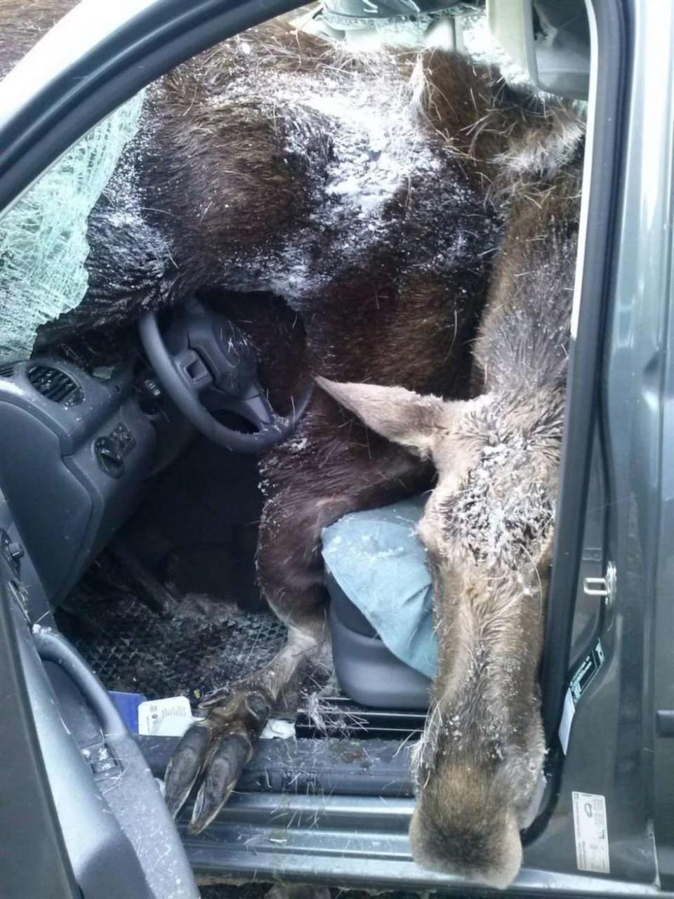 В Швеции лось протаранил лобовое стекло и оказался на коленях у водителя