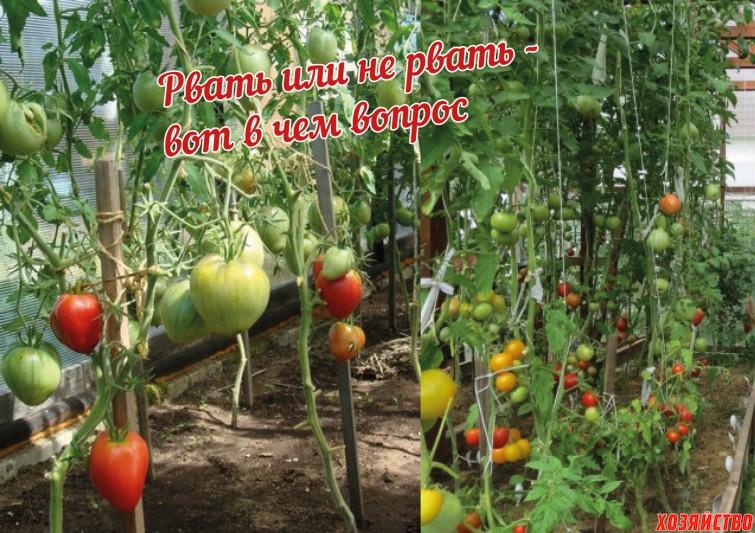Зачем обрывать листья у томатов