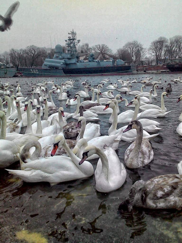 Лебеди, которые забыли в какой стороне южные страны.