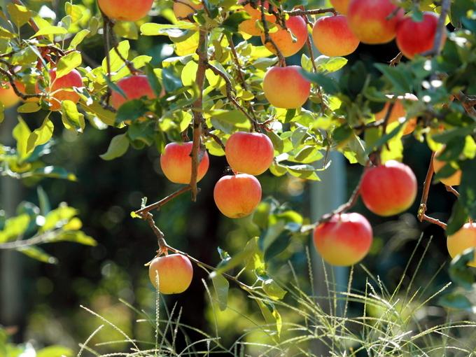 Любимчики садовода - карликовые деревья - Smak.ua