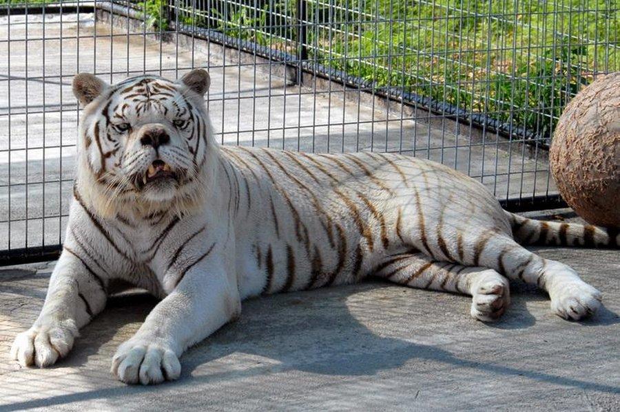 У белого тигра Кенни нет син…