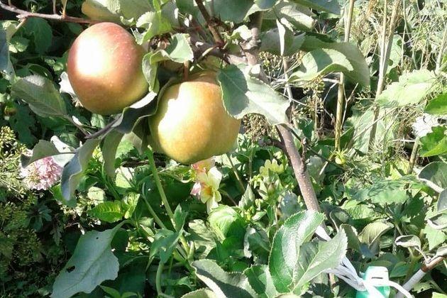 8 мифов о яблоне колонновидной