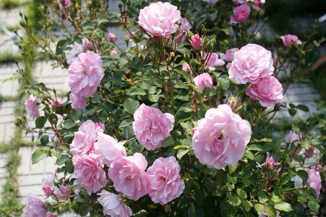Королева и её фавориты. Как использовать розу в ландшафтном дизайне
