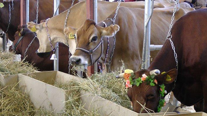 В День святого Валентина в Великобритании запустят приложение Tinder для коров