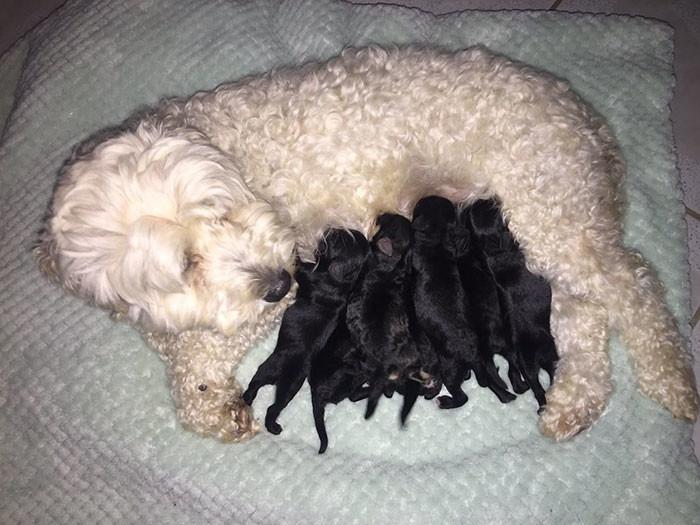 Скандал в собачьем семействе! У белых пуделей родились черные щенки! кто же отец, пудели, удивительное рядом, щенки