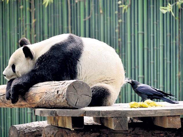 Ворона утеплилась мехом панды