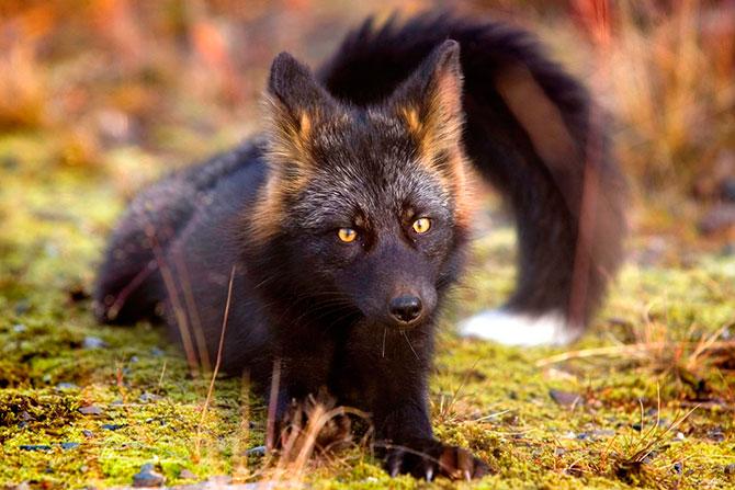 Чёрно-бурая лисица (10 фото)