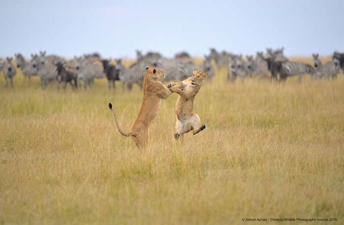 Финалисты конкурса Comedy Wildlife Photography Awards: самые забавные фотки из мира дикой природы за 2019 год Фотография, Дикая природа, Животные, Птицы, Длиннопост