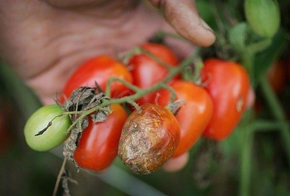 Соль, чеснок и кефир против фитофтороза томатов