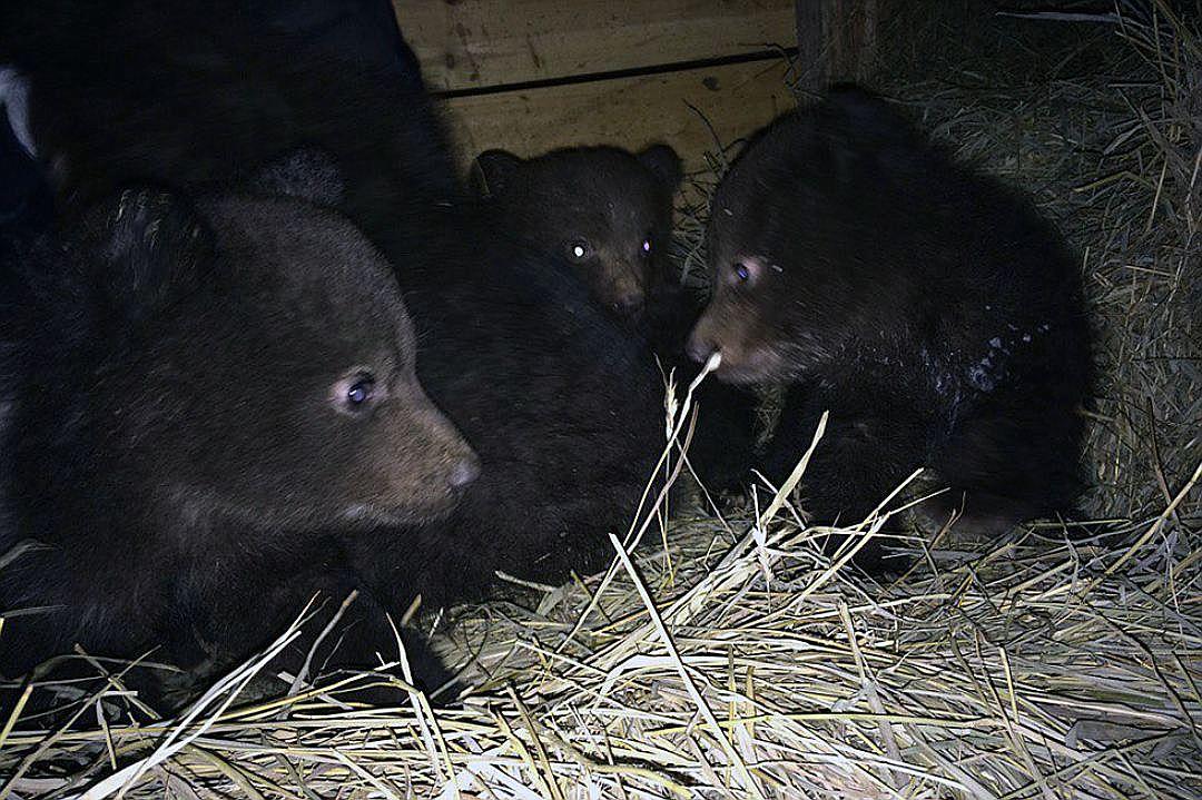 Найденные возле мертвой медведицы медвежата стали цирковыми артистами