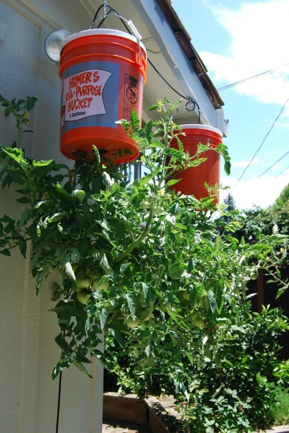 Как вырастить помидоры в ведре корнями вверх