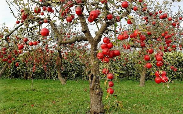 Отгибаем ветки у яблони и по…
