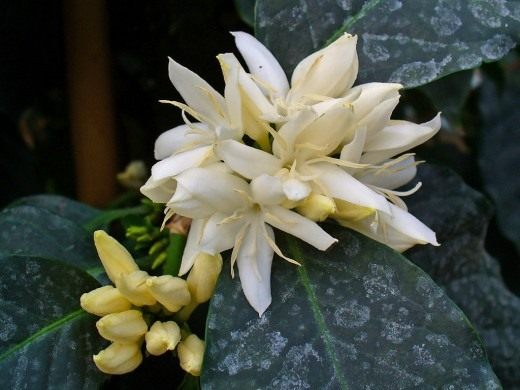 Кофейное дерево. Уход, выращивание, размножение. Болезни и вредители. Цветок