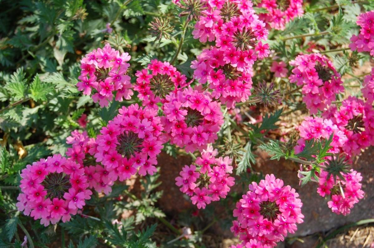 Розовый цветок вербена
