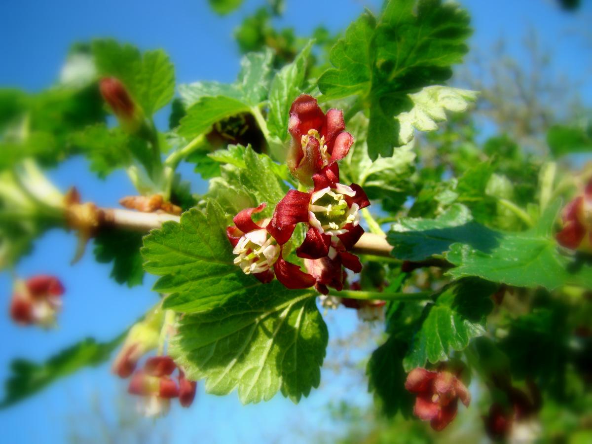 Йошта: удивительное растение в вашем саду