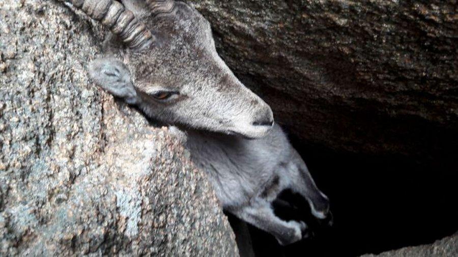 В горах Испании туристы спасли горного козла