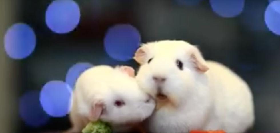 Пользователей Сети умилило видео с морской свинкой, задумавшейся о судьбе мира