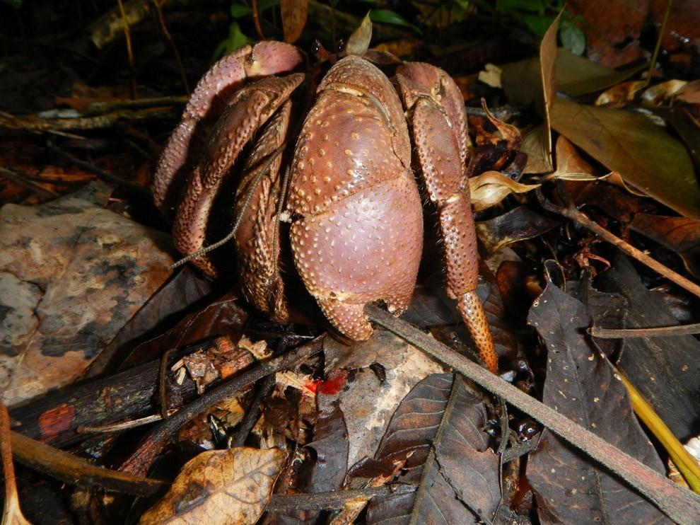Coconutcrab12 Самый крупный представитель членистоногих, кокосовый краб!