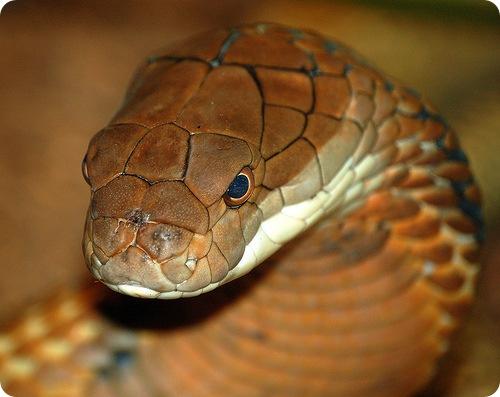 В Китае с подпольной змеиной фермы расползлись 160 кобр