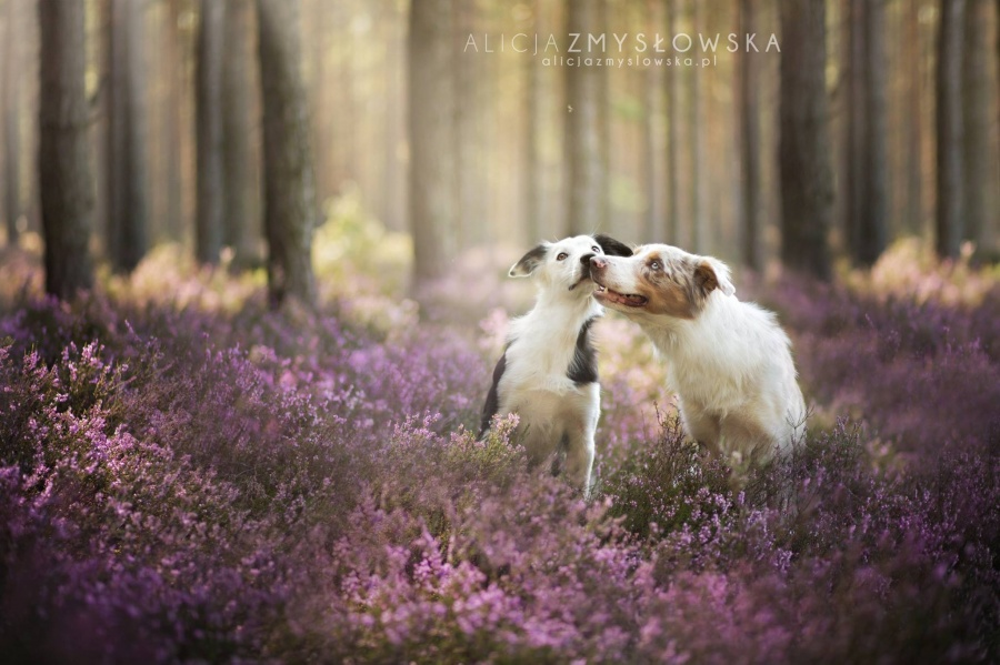 Фотограф Алисия Змысловска  и её фотопортреты собак