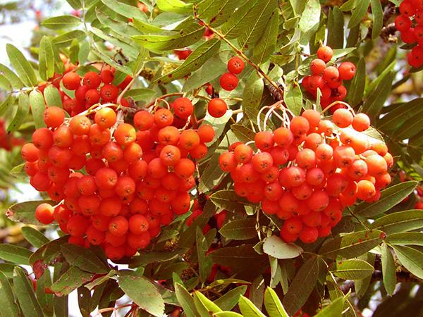 Лечебные свойства плодов рябины